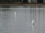 SX02802 Suicidal Swans trying to drown themselves - Mute Swans [Cygnus Olor].jpg